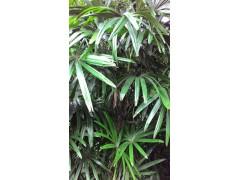 Rhapis excelsa plants