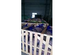 Cycas revoluta seeds packing