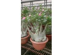 Adenium obesum (Branched head)