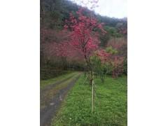 台灣八重櫻花