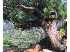 超大型台灣精品庭園型五葉松